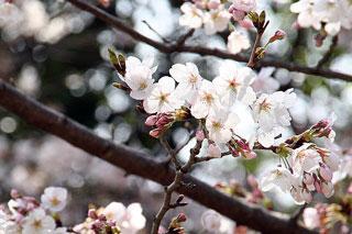 先週の桜状況