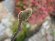 辛夷の花芽