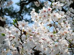 真夏日の桜